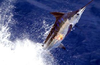 Deep sea fishing charter madiera beach fl big memories for Madeira beach fishing charters