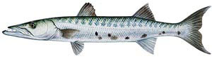 Barracuda Sport Fishing